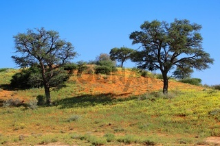 beautiful landscape at kgalagadi transfrontier park south africa