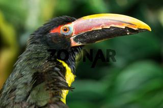 Portrait of Green Aracari