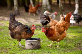 Rhode Island Red hens drinking water