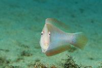 Xyrichthys novacula, Mittelmeer Schermesserfisch, Pearly razorfish, Gozo