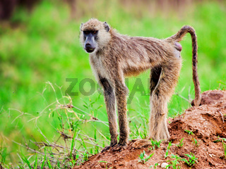 Baboon monkey in African bush. Kenya