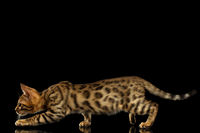 Crouching Bengal Kitty on Black