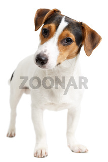 Jack Russell Terrier of white background
