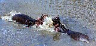 hippo fighting at the masai mara