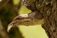 Wendehals mit Kotballen am Nest