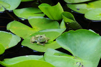 Frog on the Lotus Leaf