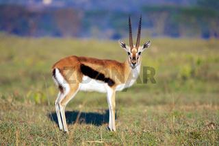 elegant thomson's gazelle at nakuru