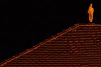 Weissstorch  übernachtet auf einem Kirchendach