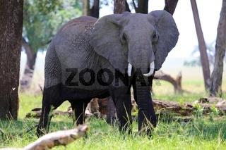 an elephant at masai mara national park Kenya