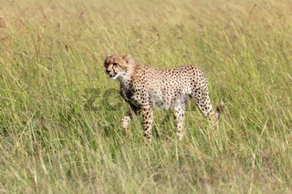 young cheetah at the masai mara national park