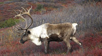 Male Caribou grazing on colorful fall tundra, Alaska Range