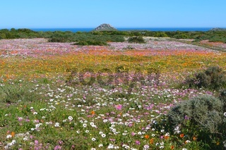 flowers at the west coast national park south africa