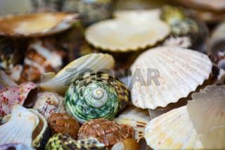 collection von verschiedenen Muscheln