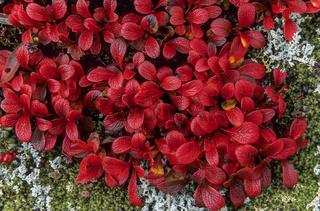 Alpen-Baerentraube die Fruechte koennen roh oder gegart gegessen werden / Alpine Bearberry the leaves turn red in autumn - (Mountain Bearberry) / Arctostaphylos alpinus