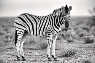 beautiful zebra at etosha