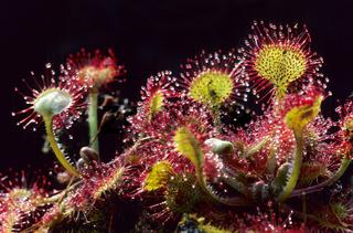 Rundblaettriger Sonnentau gehoert zu den Insekten fangenden Pflanzen - (Himmelsloeffelkraut - Himmelstau) / Round-leaved Sundew is a carnivorous plant - (Common Sundew) / Drosera rotundifolia