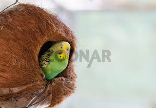Green budgerigar in coconut nest