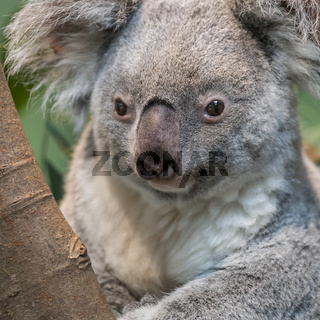 Close-up of a koala bear