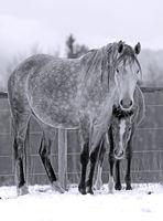 Schimmel Stute und Fohlen auf Winterweide