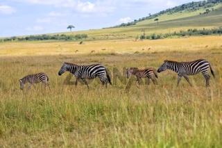 zebras at the masai mara national park kenya