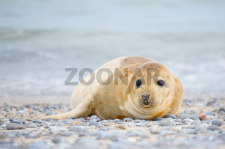 Young atlantic Grey Seal portrait