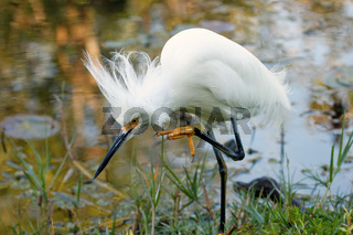 Snowy Egret with breeding plumage