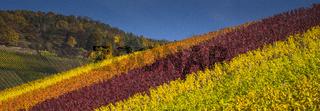 Herbstfaerbung im Weinberg