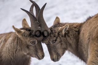 Alpine ibex ,Capra ibex,Alpensteinbock,