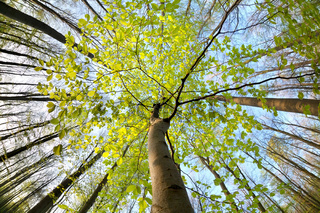 green beech tree in sunny forest