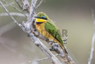 Little bee-eater,Bienenfresser,Merops pusillus,Vogel,Bird,