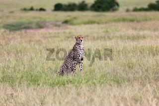 a cheetah in the bush at the masai mara national park kenya africa