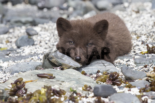 Puppy Commanders blue arctic fox is on the rocks looking forward