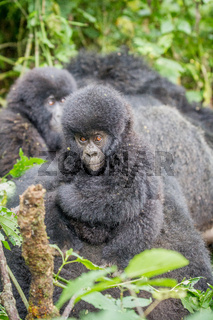 Baby Silverback Mountain gorilla in the Virunga National Park.