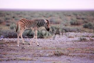 very young zebra at etosha