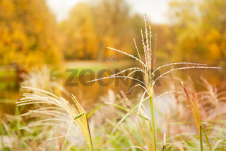 Miscanthus straw ornamental grass