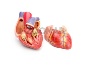 Open model of human heart showing inside