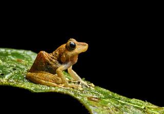 Neotropischer Frosch (Pristimantis nyctophylax), Mindo, Ekuador