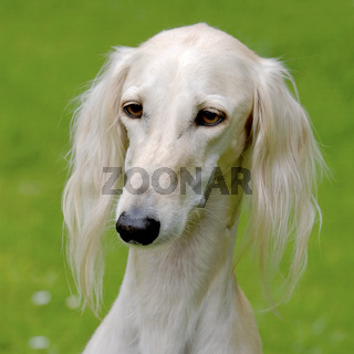 Typical  white Saluki dog on a green grass lawn