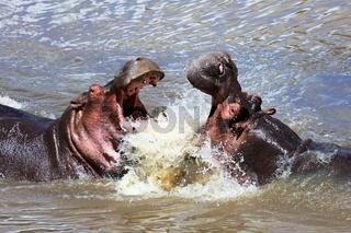 hippo's fight at the masai mara national park