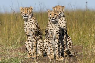 Cheetah,Gepard,acinonyx jubatus,cubs