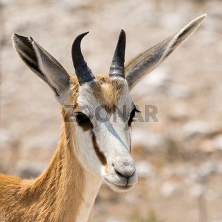 Portrait of a Springbok