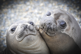 Two Elephant Seals