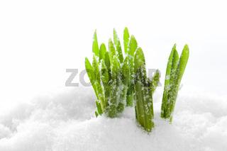 Fresh green grass growing form snow. Spring start