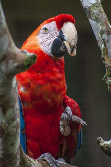 Macaw - Ara ararauna, Ecuador