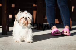 Shih tzu small dog
