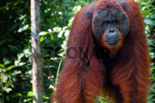 Orang Utan alpha male standing in Borneo Indonesia