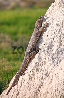 Waran auf einem Termitenhügel im Etosha-Nationalpark, Namibia; monitor at a terminte hill in Etosha National Park, Namibia, Varanus niloticus