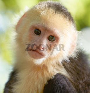 Portrait of white headed capuchin monkey.
