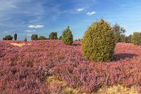 Blühende Heidelandschaft bei Wilsede in der Lüneburger Heide