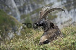 bei der Mittagsruhe... Alpensteinbock *Capra ibex*